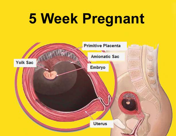 Prenatal Baby Development
