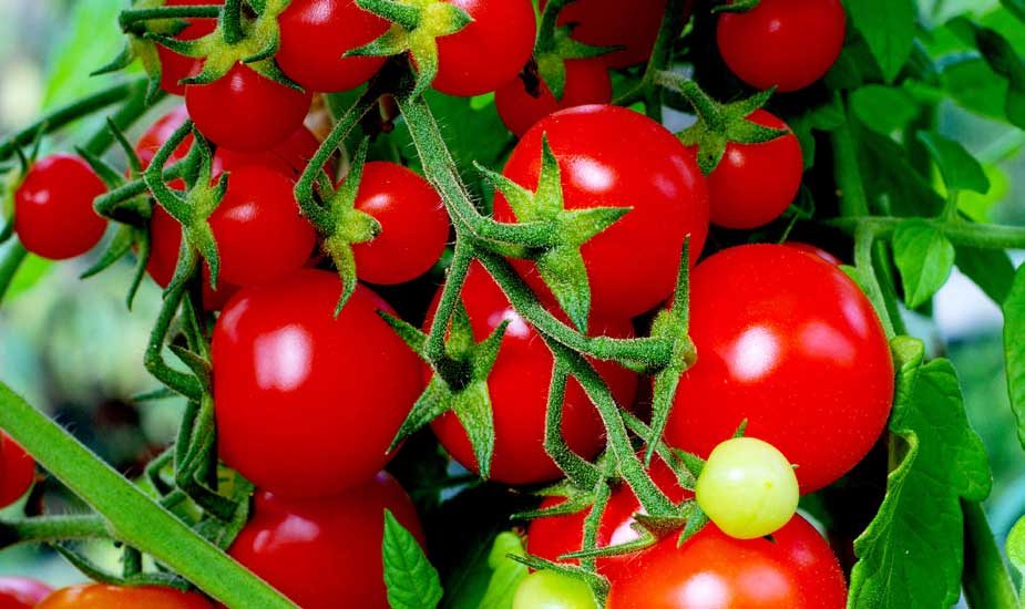 Tomatoes For Weight Loss: Five Reasons Why You Must Include Tomatoes In Your Weight Loss Plan
