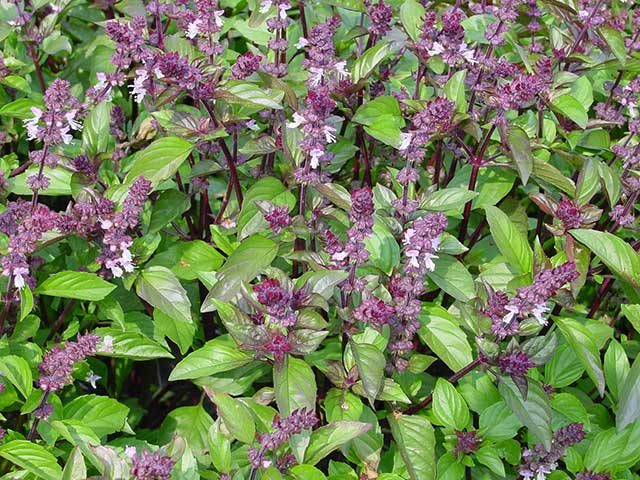 Five Reasons Why You Should Sip On Tulsi Tea (Holy Basil) Everyday