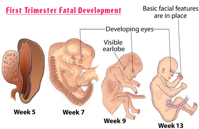 The First Trimester: Your Baby's Growth and Development in Early Pregnancy