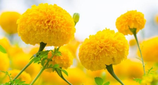 Marigold (Gende Ka Phool) - 5 Amazing Health Benefits You Must Know!