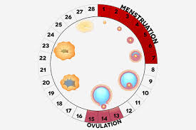 When Do Women Ovulate? Here's Everything You Need to Know