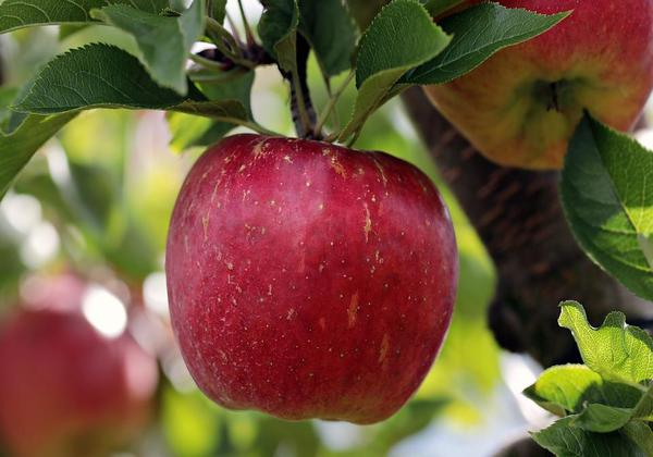 THIS is the time to eat an apple if you want maximum health benefits!