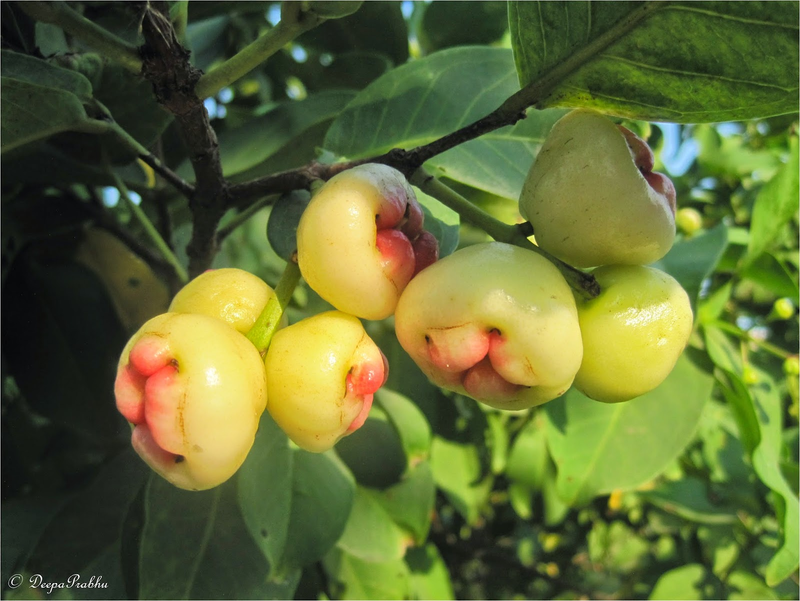 Safed Jamun: Health Benefits And Nutrition Facts About The Lesser Known Rose Apple (Bell Fruit)