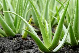 Amazing Benefits of Aloe Vera for Hair, Skin and Weight-Loss