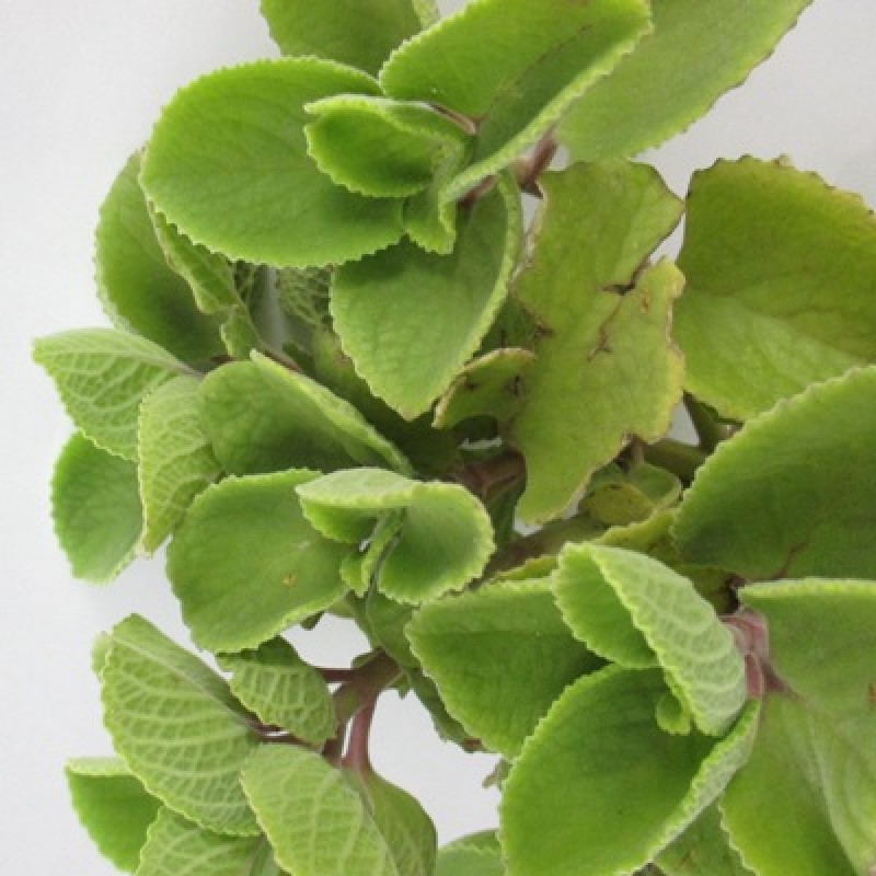 Ajwain Leaves: Culinary And Medicinal Uses Of These Flavourful Leaves!